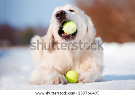 golden retriever dog chewing on tennis balls - stock photo