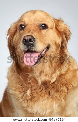 Golden retriever dog. Close-up portrait on grey background - stock photo