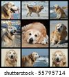 Golden retriever dog collage - stock photo