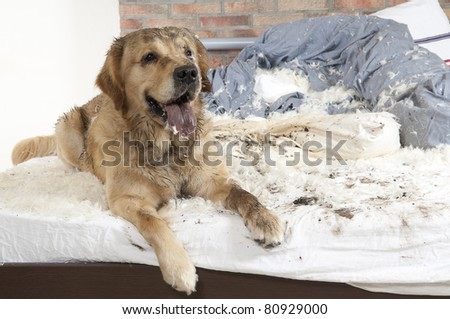 Golden retriever dog demolishes pillow on a bed in the bedroom - stock photo