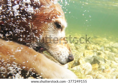 Golden retriever dog dives underwater for rocks