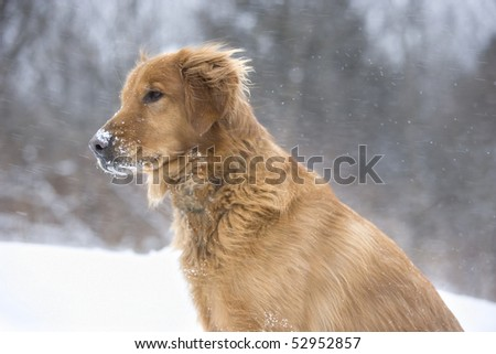 Golden Retriever dog enjoying a winter's day