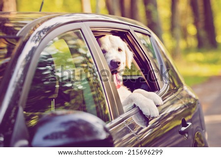 golden retriever dog in a car window - stock photo