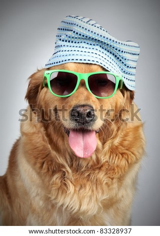 Golden Retriever dog in cap and sunglasses. - stock photo
