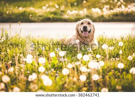 Golden retriever dog in enjoy sun - stock photo