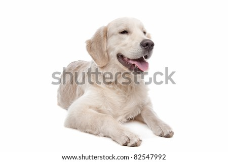 Golden retriever dog in front of a white background