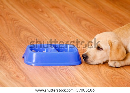 golden retriever dog in front of his bowl with pet food - stock photo