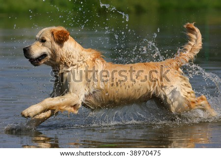 Golden retriever dog in nature - stock photo