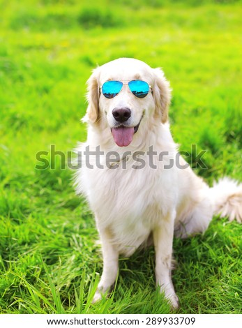 Golden Retriever dog in sunglasses sitting on the grass summer - stock photo