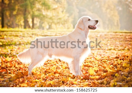 golden retriever dog in sunlight - stock photo