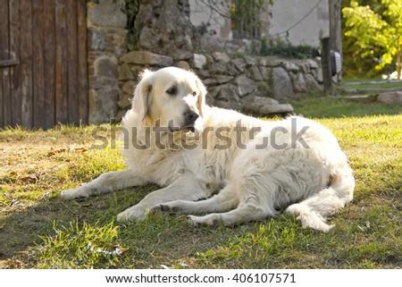 Golden retriever dog in the garden - stock photo