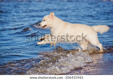golden retriever dog in the water - stock photo