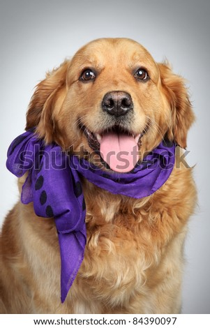 Golden Retriever dog in violet scarf. Closeup portrait on grey background - stock photo