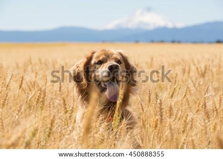Golden Retriever Dog in wheat field - stock photo