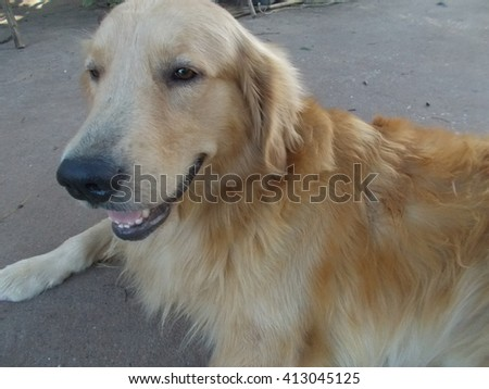 Golden retriever dog is lying down.  - stock photo