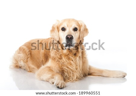 Golden retriever dog isolated on white