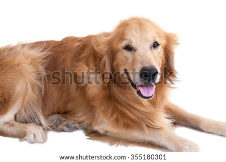 golden retriever dog isolated on white background