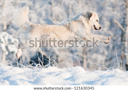 golden retriever dog jump on the snow - stock photo