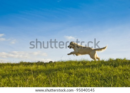 golden retriever dog jumping - stock photo