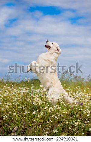 golden retriever dog jumps up on a daisy field - stock photo