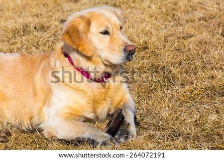 Golden retriever dog laying on dry glass field - stock photo