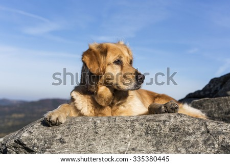golden retriever dog laying on the rock and basking in the sun