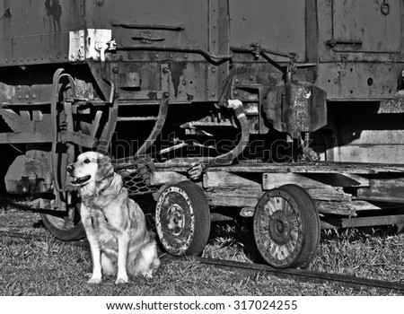 golden retriever dog looking and waiting near an old train carriage - stock photo