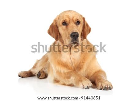 Golden Retriever dog lying on the white floor - stock photo