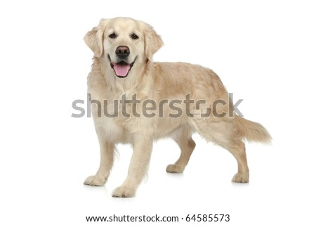 Golden Retriever dog on a white background - stock photo