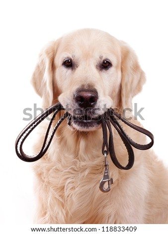 Golden Retriever dog on white background - stock photo