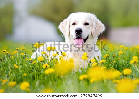 golden retriever dog outdoors in summer - stock photo