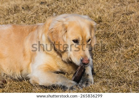 Golden retriever dog playing on dry glass field - stock photo