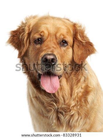 Golden Retriever dog portrait on white background - stock photo