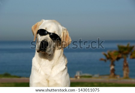 golden retriever dog  portrait with sunglasses, outdoor - stock photo