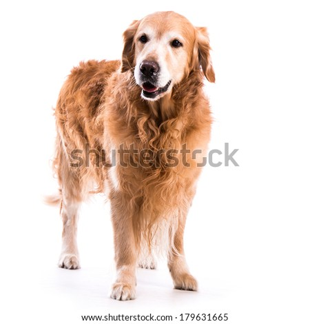 Golden retriever dog posing in studio. Isolated on white background - stock photo