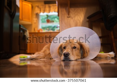 Golden Retriever dog recovering from foot surgery while wearing an Elizabethan collar in the shape of a cone for protection - stock photo