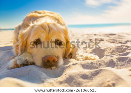 golden retriever dog relaxing, resting,or sleeping at the beach, under the bright sun - stock photo