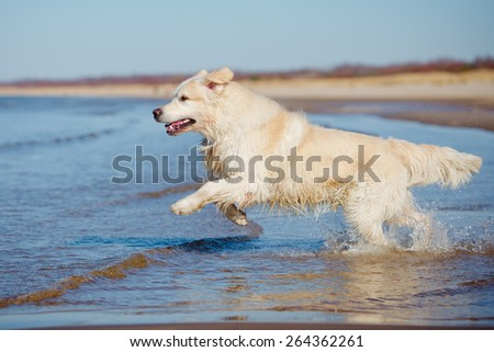 golden retriever dog running into water - stock photo