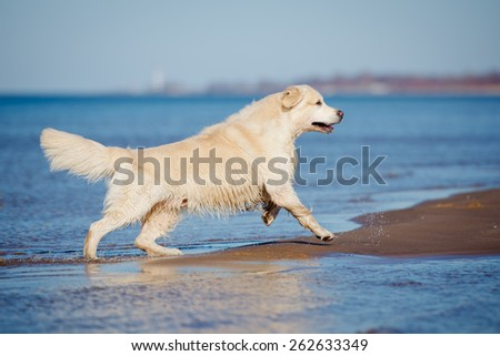golden retriever dog running on the beach - stock photo