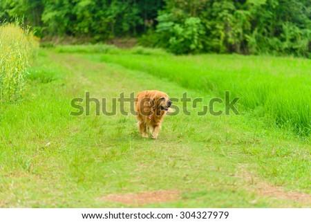 Golden retriever dog running on the green field funny - stock photo