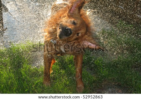 Golden Retriever dog shakes off water after a swim - stock photo