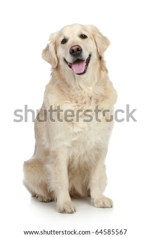Golden Retriever dog sitting on a white background - stock photo