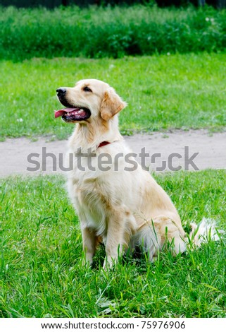 Golden Retriever dog sitting on green grass