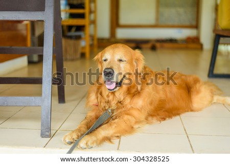 Golden Retriever Dog sitting outdoor