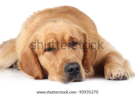 Golden Retriever dog sleep on the white floor - stock photo