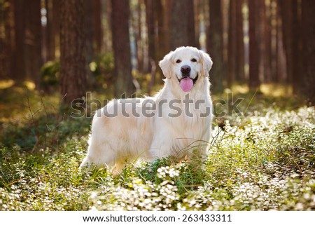 golden retriever dog standing in the forest - stock photo