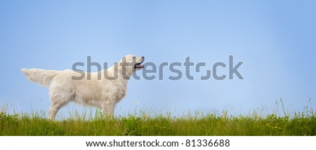 golden retriever dog standing on a grass with blue sky at the background - stock photo