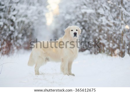 Golden Retriever dog staying in the snow in winter forest