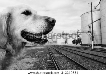 golden retriever dog waiting near railway tracks with silos in background - stock photo