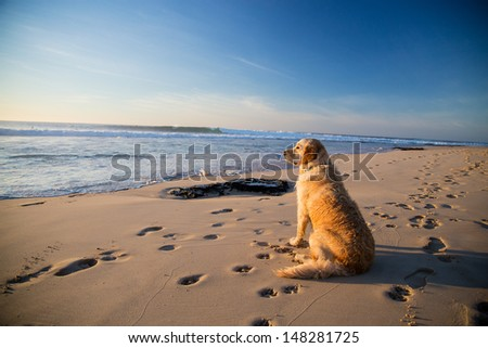 Golden retriever dog waiting on the beach Golden retriever waiting for it's owner on the beach while he is surfing  - stock photo